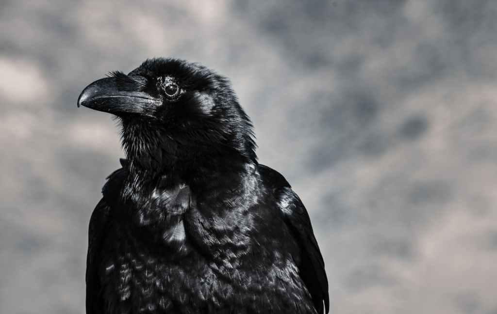 Contrairement aux idées reçues, le corbeau est un animal très sociable